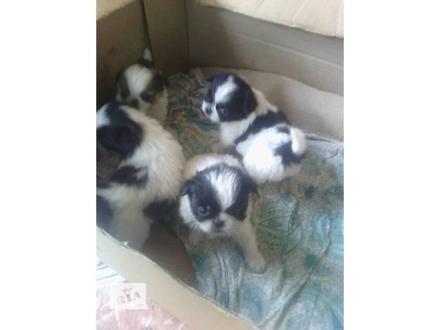 бу Продам щенков японского хина в Кропивницком (Кировограде)