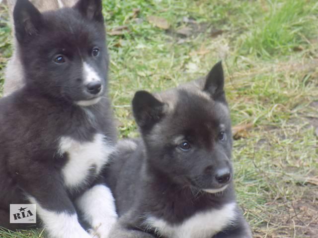продам Продам щенков Западно-Сибирской Лайки бу в Чугуеве