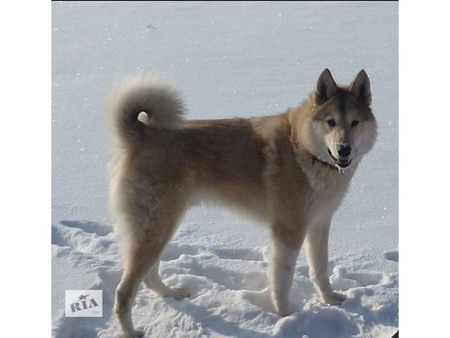 продам Продам щенков западносибирской лайки бу в Смеле