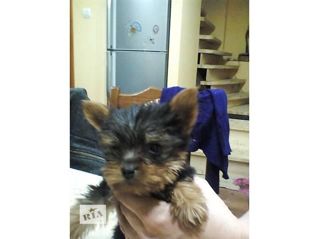 продам Продам щенков бу в Мукачево