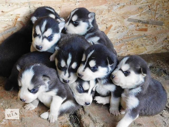 продам щенят- объявление о продаже  в Косове