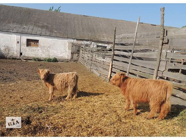 бу Продам шотландских коров! в Полтаве