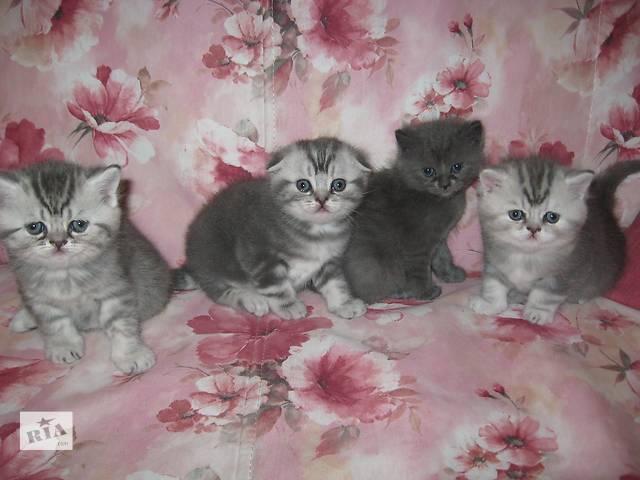 продам Продам шотландских котят бу в Харькове