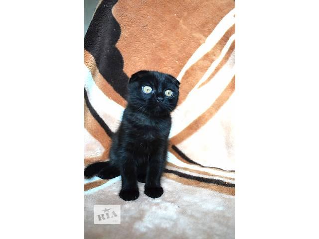 Продам шотландских вислоухих котят- объявление о продаже  в Киеве