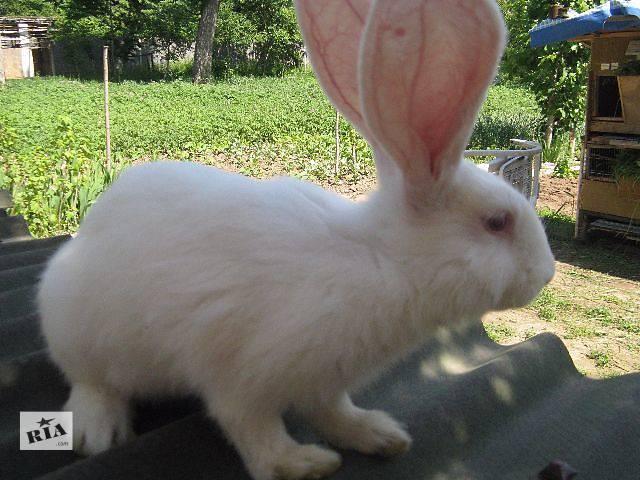 продам Продам справжніх кроликів, білі велетні терміново бу в Виннице