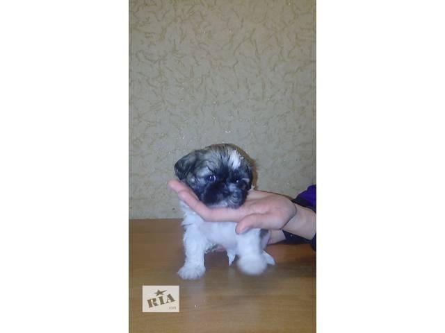 Продам срочно щенка шит-цу!- объявление о продаже  в Днепре (Днепропетровск)