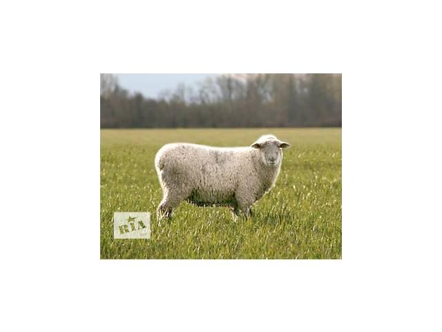 купить бу Продам стадо вівців в Снятине