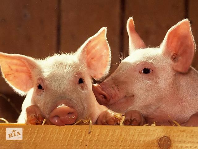 продам Продам свиней живым весом. бу в Донецке