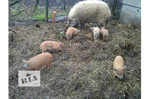 продам свиньи, поросят породы мангалица