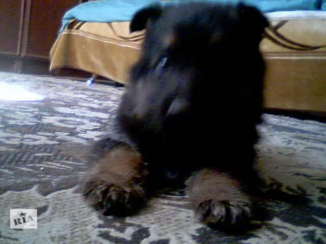 бу Продам щенка немецкой овчарки в Тернополе