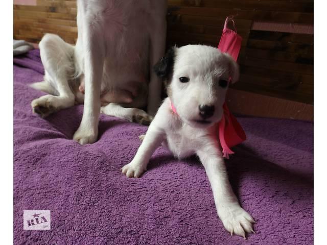 купить бу Продам щенков фокстерєра в Тернополе