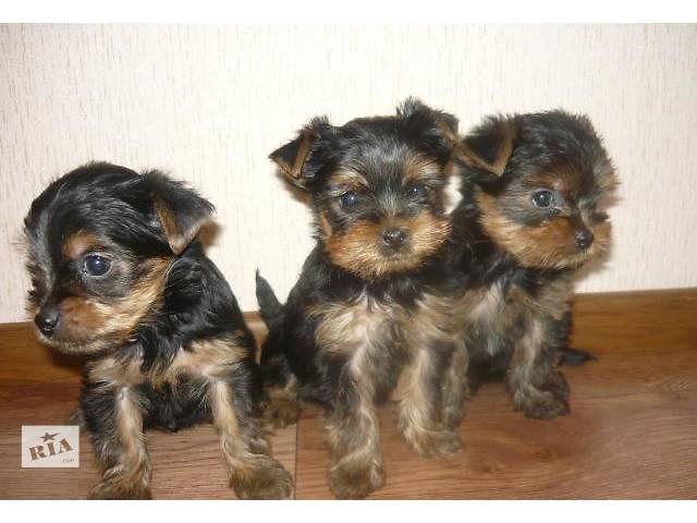 продам Продам щенков породы йоркширский терєр бу в Львове