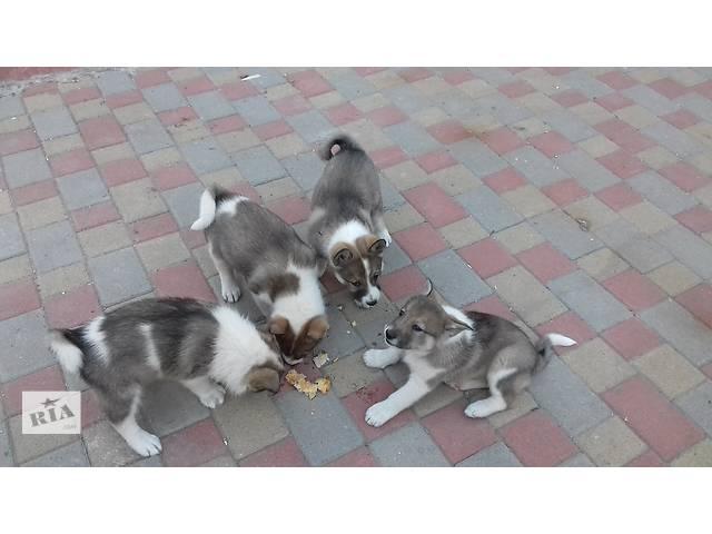 купить бу Продам щенков Сибирской лайки в Хмельницком