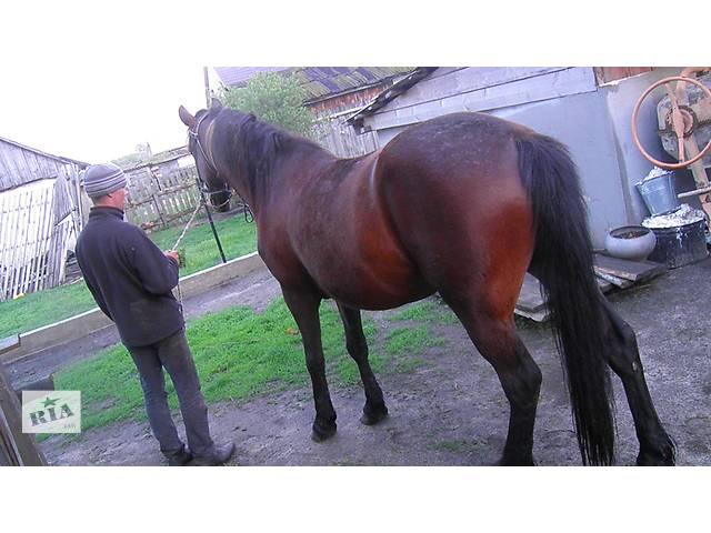 купить бу Продам большого спокойного коня в Ровно