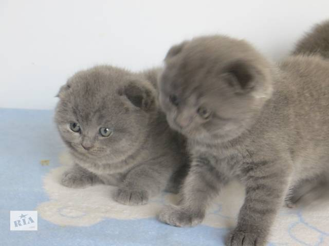 купить бу Продам вислоухих и прямоухих котят разных окрасов по разным ценам в Запорожье
