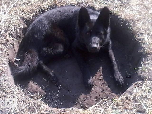 купить бу Продам взрослую (3 года) черную старотипную немецкую овчарку в Каневе
