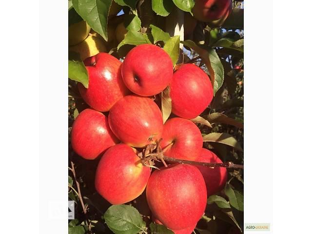 продам Продам яблука бу в Борщеве (Тернопольской обл.)