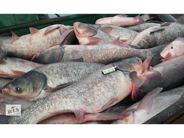продам Продам Живую рыбу от производителя. бу  в Украине