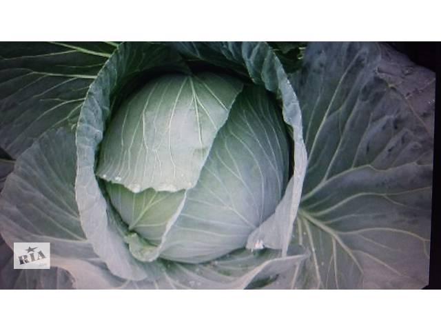 продам Продам зимнюю капусту  бу в Винницкой области
