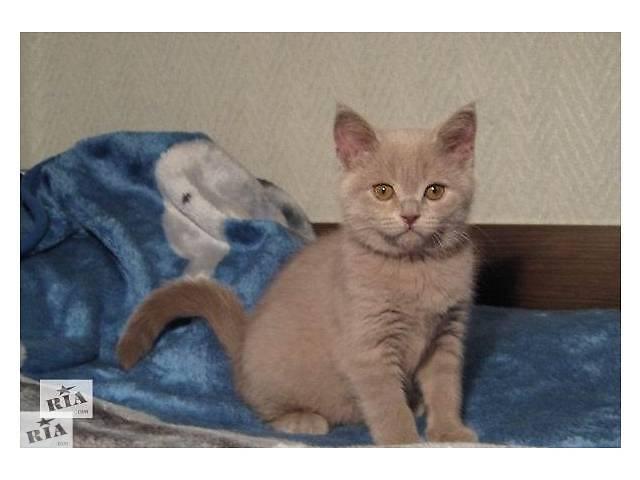 британские лиловые котята 3 месяца фото