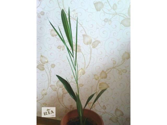 продам Продам финиковую пальму, 65 см бу в Тернополе