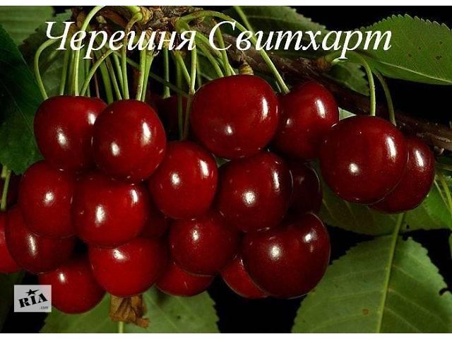 продам Продам саженцы черешни и вишни бу в Акимовке