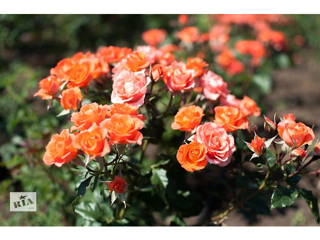 Продам саженцы роз- объявление о продаже  в Мелитополе