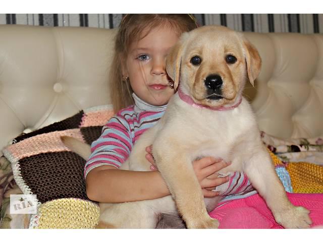 продам Продаю алиментного щенка лабрадора бу в Донецке