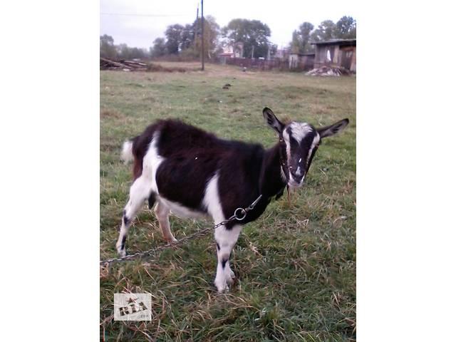 продам Продаю дойную козу(возраст 2 года) бу в Тернополе