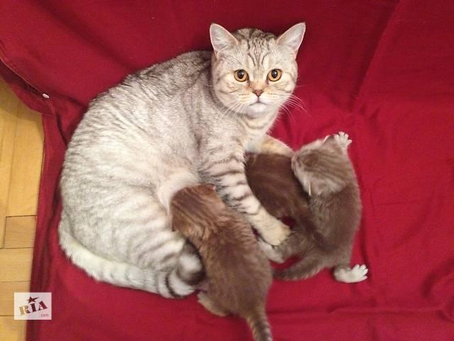 купить бу Продаю плюшевых Шотландских котят в Ивано-Франковске