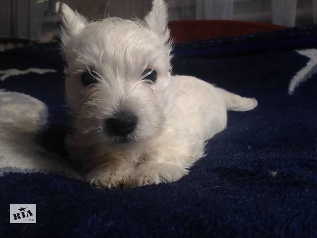 Продаю щенка Вест хайленд уайт терьера- объявление о продаже  в Константиновке
