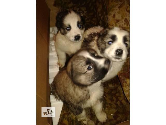 продам Продаю щенков Азиатской овчарки. бу в Новомиргороде