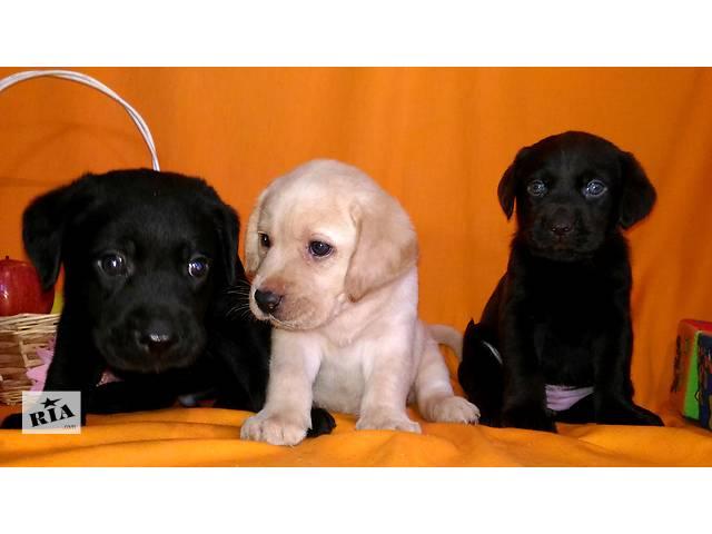 купить бу Продаю щенков Лабрадора  разного окраса в Херсоне