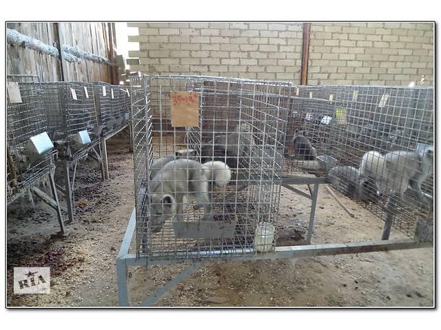 продам Продаю щенков серебристо-черной лисы(чернобурка) и песца  бу в Луцке