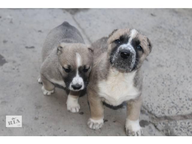 бу продаю щенков алабаев в Львове