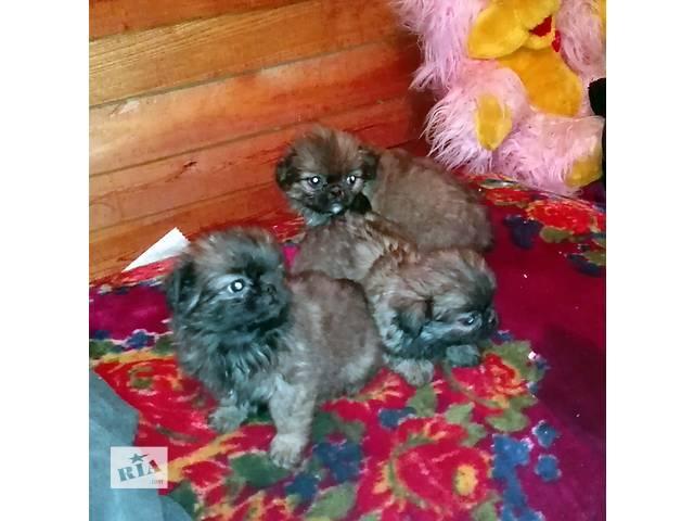 продаю щенков пекинесов- объявление о продаже  в Тернополе