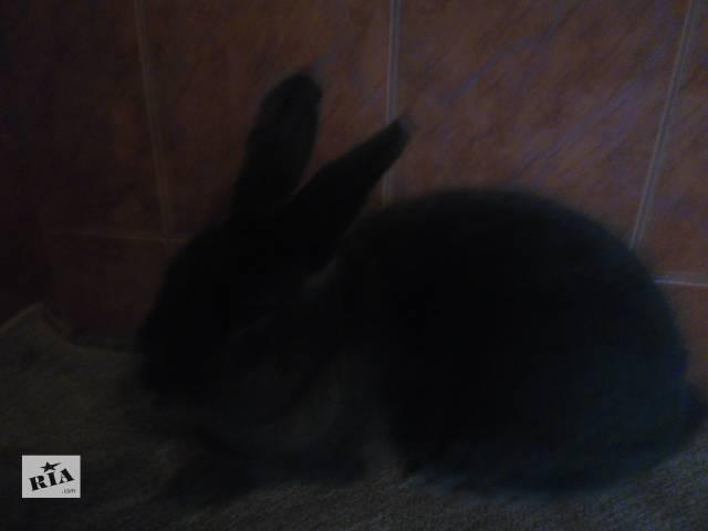 Продаю венских кроликов- объявление о продаже  в Верховине