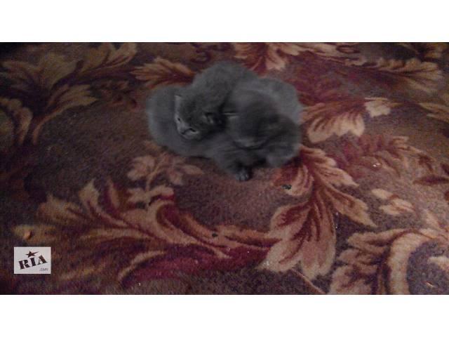 продам Продаются британские,вислоухие котята бу в Червонограде