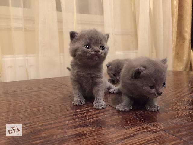 бу Продаються чистокровні британські кошенята  в Ивано-Франковске