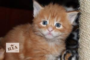 Продаются чистопородные котята Мейн-куны!