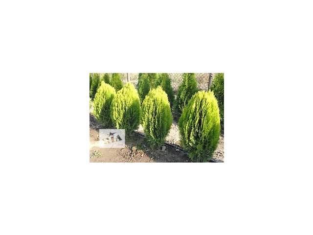 бу продаются декоративно лиственные растения в Сокирянах