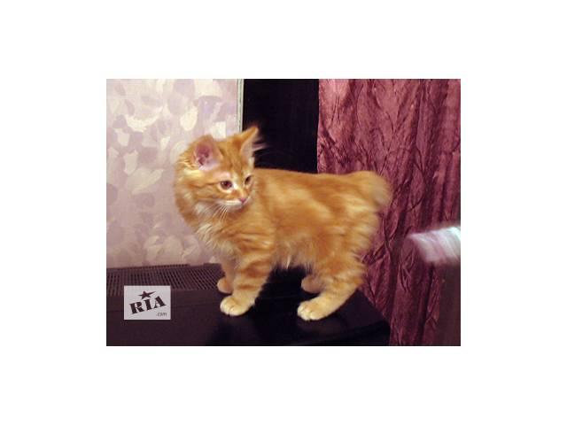 Продаются клубные котята курильского бобтейла- объявление о продаже  в Киеве