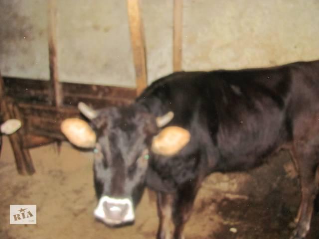 Продаются коровы:9 лет,2 года,1,5 года ,6 месяцев- объявление о продаже  в Перечине
