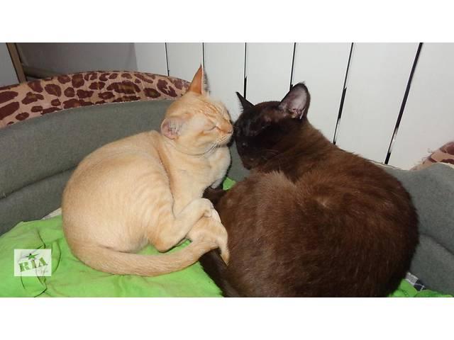 продам Продаются котята Бурмы Европейской бу в Херсоне