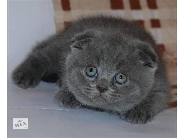 продам Продаются котята Скотиш Фолд разных окрасов. бу в Днепре (Днепропетровске)