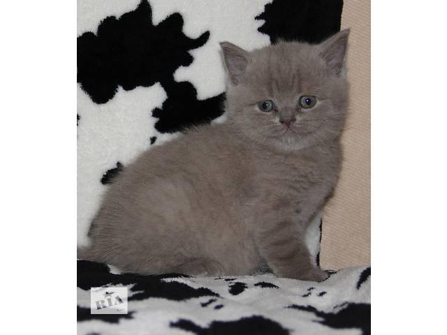 бу Продаются котята Скотиш Страйт разных окрасов.  в Днепре (Днепропетровск)