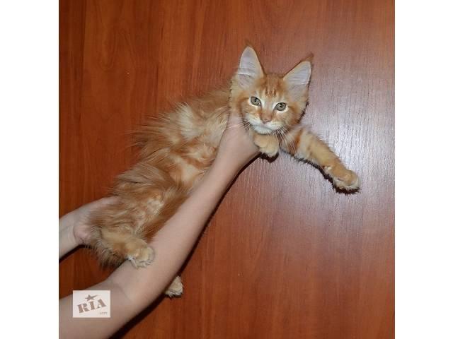 купить бу Продаются красный мрамор котята Мейн-кунчики!  в Днепре (Днепропетровск)