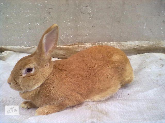 Продаются кролики породы Бургундець и Калифорниец- объявление о продаже  в Тернополе