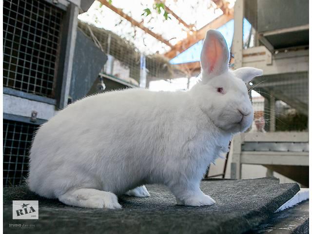 бу Продаются кролики на племя породы Новозеландская Белая (НЗБ) в Павлограде