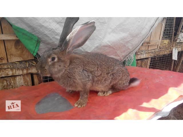 купить бу Продаются кролики породы Серый Великан в Тернополе